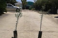 Ελιά (ARBEQUINA) - Olive Trees (ARBEQUINA) - Anastasopoulos Nurseries