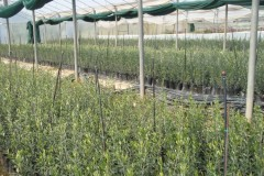 Ελαιόδεντρα - Olive Trees - Anastasopoulos Nurseries
