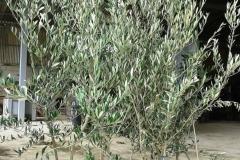 Ελιές - Olive Trees - Anastasopoulos Nurseries