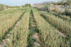 Ελιές - Olive Trees - Anastasopoulos Nurseries