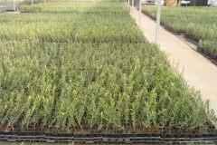 Ελιές- Olive Trees - Anastasopoulos Nurseries