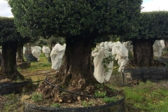 ΕΛΙΑ - OLIVE TREES - ANASTASOPOULOS