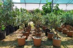 Ελιά (σπειροειδής) - Olive Trees (spiral) - Anastasopoulos Nurseries