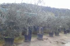 Ελιά - Olive Trees - Anastasopoulos Nurseries