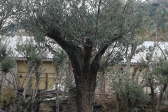 Ελιά - Olive Trees - Anastasopoulos Nurseries