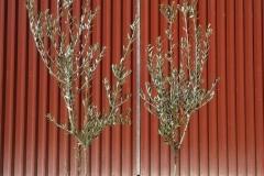 Ελιά  (ΚΟΡΩΝΕΙΚΗ) - Olive Trees (KORONEIKI) - Anastasopoulos Nurseries