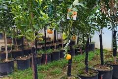 Μανταρινιά - Tangerine Tree - Anastasopoulos