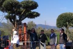 Διαμορφωμένες ελιές - Olive trees - Φυτώρια Αναστασόπουλος