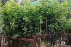 Μιμόζα - Mimosa - Anastasopoulos Nurseries