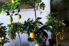 Πορτοκαλιές - Orange Trees - Anastasopoulos Nurseries