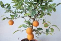 Πορτοκαλιά- Orange Trees  - Anastasopoulos Nurseries