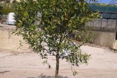 Εσπεριδοειδή - Anastasopoulos  Nurseries