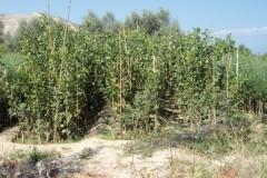 Φυστικιές - Pistachio Vera - Anastasopoulos Nurseries