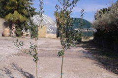 Ελιά  (PICUAL) - Olive Trees (PICUAL) - Anastasopoulos Nurseries