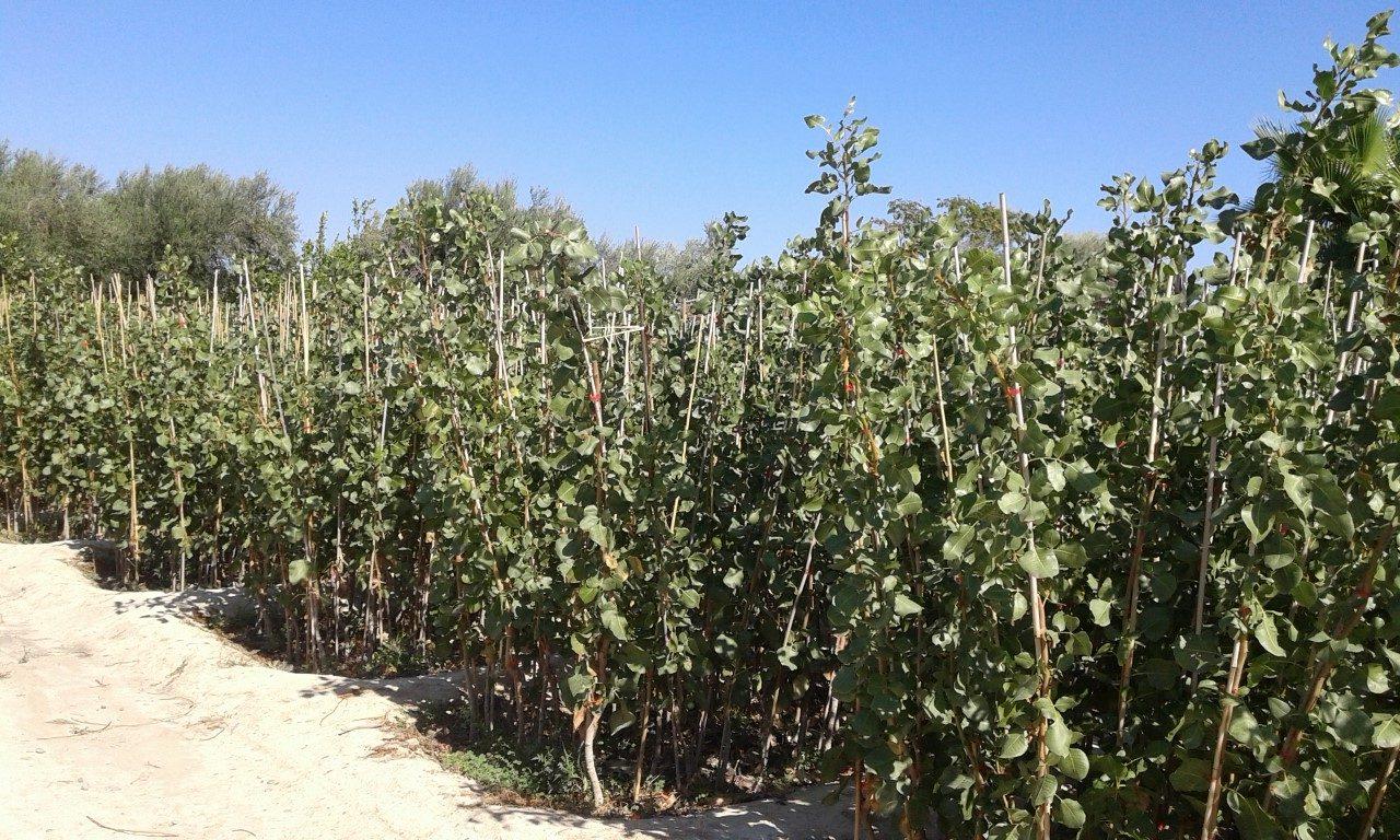 Pistachio Plants